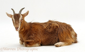 Domestic goat lying down
