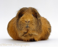 Pregnant Red agouti guinea pig with very large belly