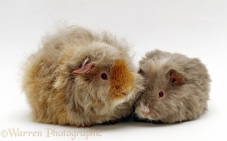 Frizzy Guinea pig and baby