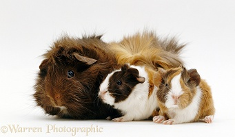 Female Abyssinian Guinea pig with two 1 day old babies