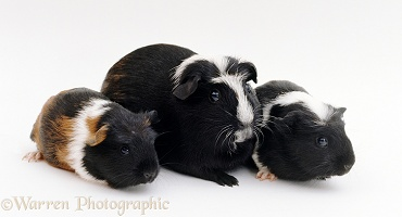 Smooth haired coronet Guinea pig with two babies