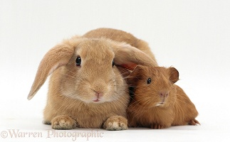 Young sandy lop-eared rabbit with young red Guinea pig
