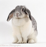 Female Silver-and-white French lop-eared rabbit