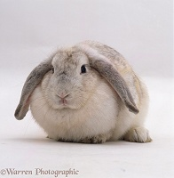 Female Silver French lop-eared rabbit
