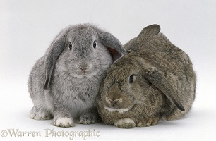 Silver male and Agouti female French lop-eared rabbits