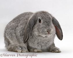 Silver male French lop-eared rabbit