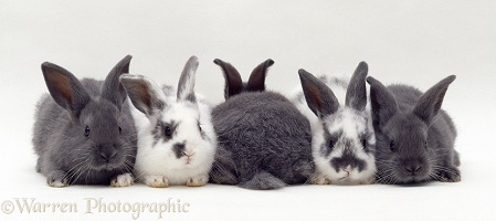 Five grey and spotted baby rabbits