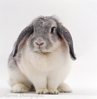 Silver-and-white Angora x French lop-eared rabbit