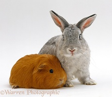 Red guinea pig with Silver fox rabbit