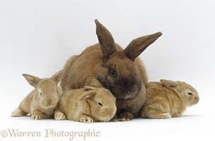 Sooty fawn rabbit and baby bunnies