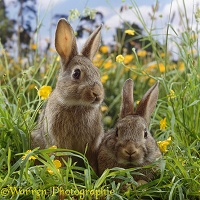 Two young European wild rabbits