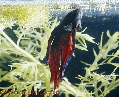Siamese Fighting Fish making a bubble nest
