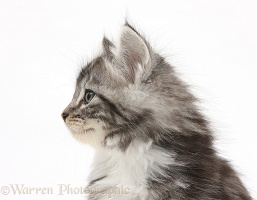 Maine Coon-cross kitten, 7 weeks old