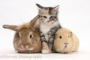 Sandy rabbit and Maine Coon-cross kitten and guinea pig