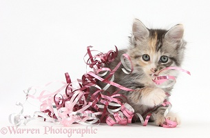 Maine Coon-cross kitten at Christmas