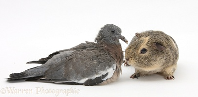 Fledgling Woodpigeon and Guinea pig