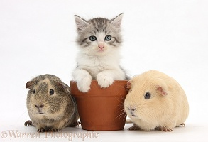 Guinea pigs and Maine Coon-cross kitten in a flowerpot