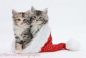 Maine Coon-cross kittens in a Santa hat