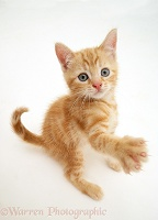 Ginger kitten with raised paw
