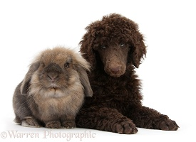 Chocolate Standard Poodle pup with a rabbit