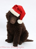 Chocolate Standard Poodle pup wearing a Santa hat