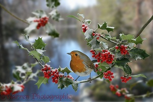 Robin on Holly
