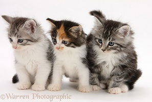 Maine Coon-cross kittens, 7 weeks old