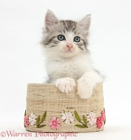 Maine Coon-cross kitten, 7 weeks old, in a basket