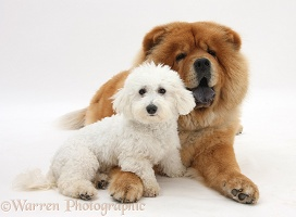 Bichon Frise and Chow Chow dog