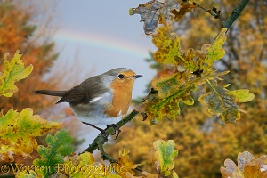 Robin and rainbow