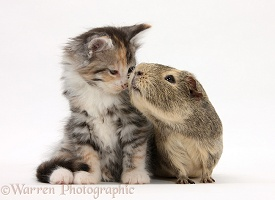 Guinea pig and Maine Coon-cross kitten, 7 weeks old