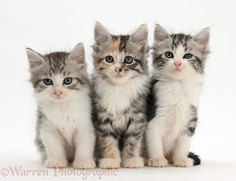 Three Maine Coon-cross kittens, 7 weeks old