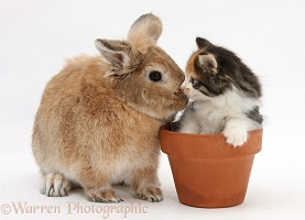 Sandy rabbit and Maine Coon-cross kitten in flowerpot