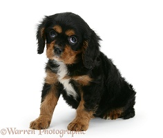 Black-and-tan Cavalier King Charles Spaniel pup