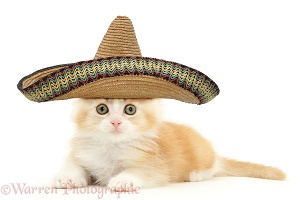 Ginger Maine Coon kitten with sombrero hat on
