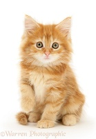 Ginger Maine Coon kitten sitting