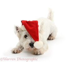 Playful Westie wearing a Santa hat
