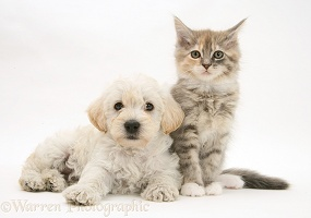 Woodle pup and Maine Coon kitten