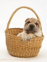 Shar-pei pup in a wicker basket