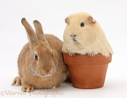 Sandy rabbit and yellow Guinea pig in a flowerpot