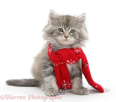 Maine Coon kitten wearing a Christmas scarf