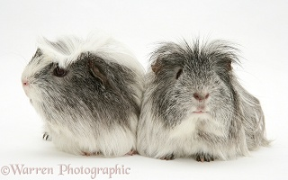 Silver-and-white rosette Guinea pigs