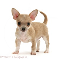 Smooth-haired Chihuahua pup