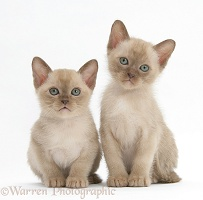 Burmese kittens, 7 weeks old