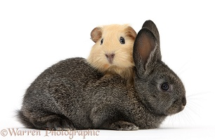 Baby agouti rabbit and baby yellow Guinea pig