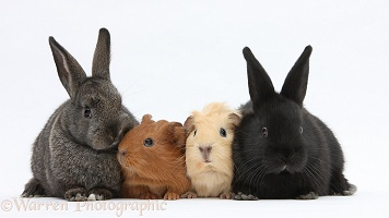 Baby rabbits and baby Guinea pigs