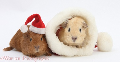 Baby Guinea pigs with Santa hats