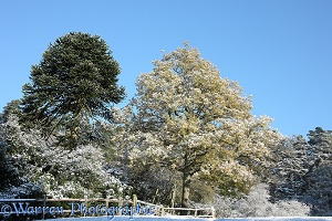 Autumnal oak tree with snow