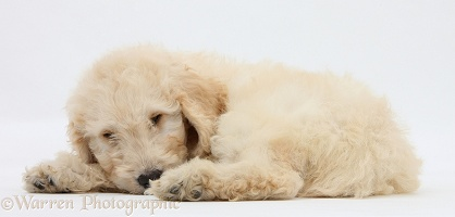 Sleepy Labradoodle pup, 9 weeks old