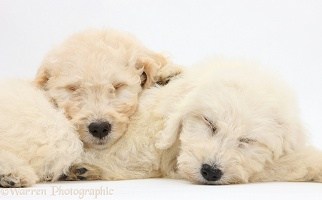 Sleepy Labradoodle pups, 9 weeks old
